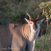 "<a target=""NEWWIN"" href=""http://en.wikipedia.org/wiki/Common_Eland"">Eland (<i>Taurotragus oryx</i>)</a>, <a target=""NEWWIN"" href=""http://en.wikipedia.org/wiki/Ngorongoro"">Ngorongoro Crater</a>, Tanzania"