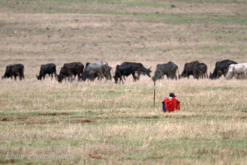 "Maasai and his Cows, <a target=""NEWWIN"" href=""http://en.wikipedia.org/wiki/Ngorongoro"">Ngorongoro Crater</a>, Tanzania"