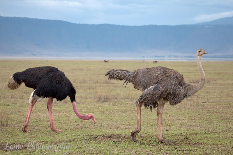 "Male and Female <a target=""NEWWIN"" href=""http://en.wikipedia.org/wiki/Ostrich"">Ostriches (<i>Struthio camelus</i>)</a>, <a target=""NEWWIN"" href=""http://en.wikipedia.org/wiki/Ngorongoro"">Ngorongoro Crater</a>, Tanzania"