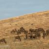 "<a target=""NEWWIN"" href=""http://en.wikipedia.org/wiki/Blue_Wildebeest"">Blue Wildebeest (<i>Connochaetes taurinus</i>)</a> at dawn, <a target=""NEWWIN"" href=""http://en.wikipedia.org/wiki/Ngorongoro"">Ngorongoro Crater</a>, Tanzania"