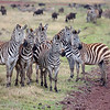 "<a target=""NEWWIN"" href=""http://en.wikipedia.org/wiki/Plains_Zebra"">Common Zebras (<i>Equus quagga</i>)</a> keeping an eye on a nearby lioness, <a target=""NEWWIN"" href=""http://en.wikipedia.org/wiki/Ngorongoro"">Ngorongoro Crater</a>, Tanzania"