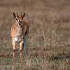 "<a target=""NEWWIN"" href=""http://en.wikipedia.org/wiki/Thomson%27s_Gazelle"">Thomsons Gazelle (<i>Eudorcas thomsoni</i>)</a>, <a target=""NEWWIN"" href=""http://en.wikipedia.org/wiki/Ngorongoro"">Ngorongoro Crater</a>, Tanzania"
