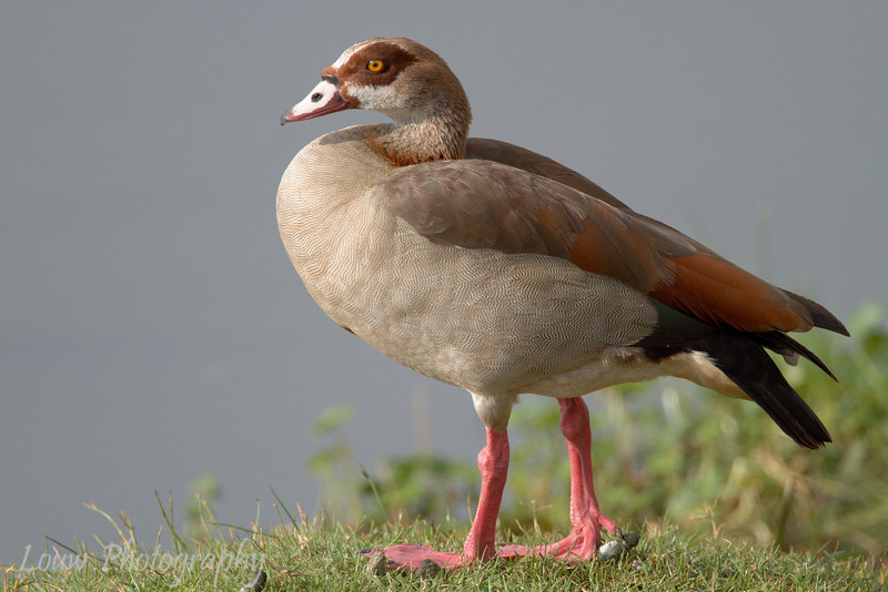 """<a target=""""NEWWIN"""" href=""""http://en.wikipedia.org/wiki/Egyptian_geese"""">Egyptian Goose (<i>Alopochen aegyptiacus</i>)</a>, <a target=""""NEWWIN"""" href=""""http://en.wikipedia.org/wiki/Ngorongoro"""">Ngorongoro Crater</a>, Tanzania"""