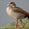 "<a target=""NEWWIN"" href=""http://en.wikipedia.org/wiki/Egyptian_geese"">Egyptian Goose (<i>Alopochen aegyptiacus</i>)</a>, <a target=""NEWWIN"" href=""http://en.wikipedia.org/wiki/Ngorongoro"">Ngorongoro Crater</a>, Tanzania"