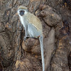 "Black-Faced Vervet Monkey (<i>Cercopithecus aethiops</i>), <a target=""NEWWIN"" href=""http://en.wikipedia.org/wiki/Ngorongoro"">Ngorongoro Crater</a>, Tanzania"