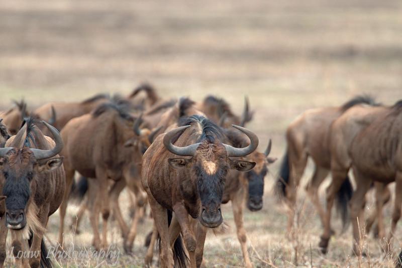 "<a target=""NEWWIN"" href=""http://en.wikipedia.org/wiki/Blue_Wildebeest"">Blue Wildebeest (<i>Connochaetes taurinus</i>)</a>, <a target=""NEWWIN"" href=""http://en.wikipedia.org/wiki/Ngorongoro"">Ngorongoro Crater</a>, Tanzania"