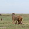 "Male <a target=""NEWWIN"" href=""http://en.wikipedia.org/wiki/Lion"">Lion (<i>Panthera leo</i>)</a> with Zebra kill, surrounded by scavenging Jackals and Hyenas, <a target=""NEWWIN"" href=""http://en.wikipedia.org/wiki/Ngorongoro"">Ngorongoro Crater</a>, Tanzania"