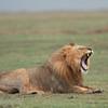 """Male <a target=""""NEWWIN"""" href=""""http://en.wikipedia.org/wiki/Lion"""">Lion (<i>Panthera leo</i>)</a> yawning, <a target=""""NEWWIN"""" href=""""http://en.wikipedia.org/wiki/Ngorongoro"""">Ngorongoro Crater</a>, Tanzania"""