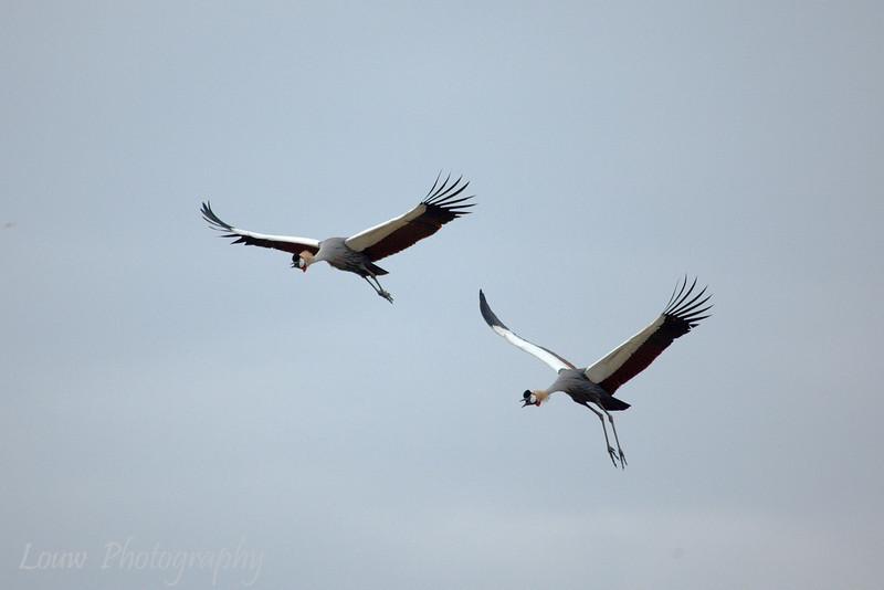 "<a target=""NEWWIN"" href=""http://en.wikipedia.org/wiki/Grey_Crowned_Crane"">Grey Crowned Cranes (<i>Balearica regulorum</i>)</a>, <a target=""NEWWIN"" href=""http://en.wikipedia.org/wiki/Ngorongoro"">Ngorongoro Crater</a>, Tanzania"