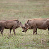 "Male and Female <a target=""NEWWIN"" href=""http://en.wikipedia.org/wiki/Warthog"">Desert Warthogs (<i>Phacochoerus aethiopicus</i>)</a>, <a target=""NEWWIN"" href=""http://en.wikipedia.org/wiki/Ngorongoro"">Ngorongoro Crater</a>, Tanzania"