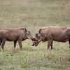 "Male and Female <a target=""NEWWIN"" href=""http://en.wikipedia.org/wiki/Warthog"">Desert Warthogs (<i>Phacochoerus aethiopicus</i>)</a>, <a target=""NEWWIN"" href=""http://en.wikipedia.org/wiki/Ngorongoro"">Ngorongoro Crater</a>, Tanzania"
