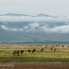 "<a target=""NEWWIN"" href=""http://en.wikipedia.org/wiki/Plains_Zebra"">Common Zebras (<i>Equus quagga</i>)</a>, <a target=""NEWWIN"" href=""http://en.wikipedia.org/wiki/Ngorongoro"">Ngorongoro Crater</a>, Tanzania"