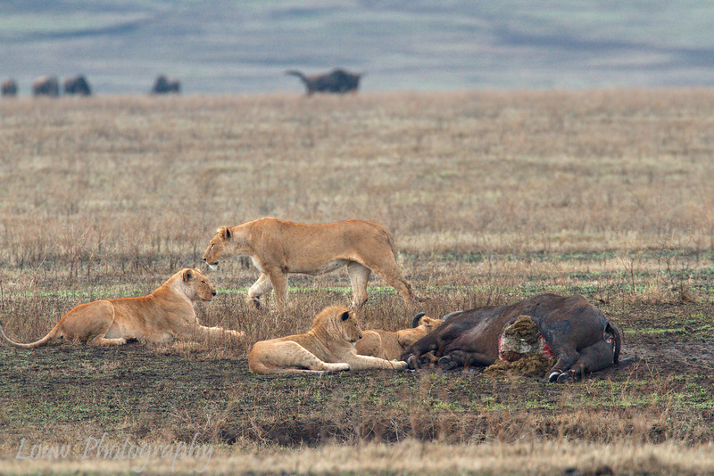 """A pride of <a target=""""NEWWIN"""" href=""""http://en.wikipedia.org/wiki/Lion"""">Lions (<i>Panthera leo</i>)</a> with Buffalo kill, <a target=""""NEWWIN"""" href=""""http://en.wikipedia.org/wiki/Ngorongoro"""">Ngorongoro Crater</a>, Tanzania"""