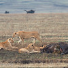 "A pride of <a target=""NEWWIN"" href=""http://en.wikipedia.org/wiki/Lion"">Lions (<i>Panthera leo</i>)</a> with Buffalo kill, <a target=""NEWWIN"" href=""http://en.wikipedia.org/wiki/Ngorongoro"">Ngorongoro Crater</a>, Tanzania"