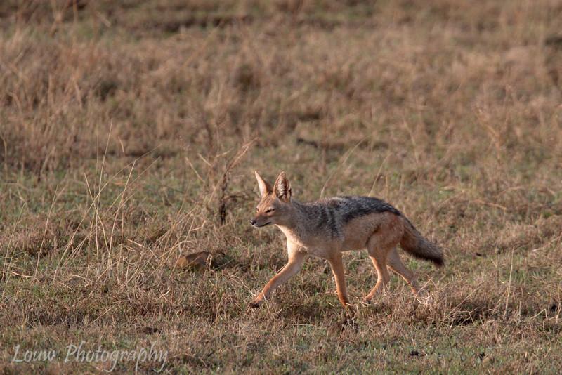 """<a target=""""NEWWIN"""" href=""""http://en.wikipedia.org/wiki/Black-backed_Jackal"""">Black-backed Jackal (<i>Canis mesomelas</i>)</a>, <a target=""""NEWWIN"""" href=""""http://en.wikipedia.org/wiki/Ngorongoro"""">Ngorongoro Crater</a>, Tanzania"""