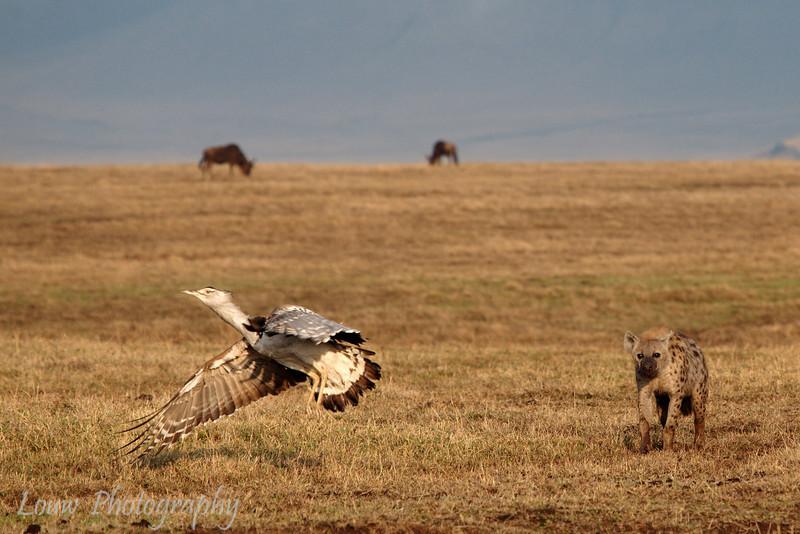 "<a target=""NEWWIN"" href=""http://en.wikipedia.org/wiki/Spotted_Hyena"">Spotted Hyena (<i>Crocuta crocuta</i>)</a> chasing <a target=""NEWWIN"" href=""http://en.wikipedia.org/wiki/Kori_Bustard"">Kori Bustard (<i>Ardeotis kori</i>)</a>, <a target=""NEWWIN"" href=""http://en.wikipedia.org/wiki/Ngorongoro"">Ngorongoro Crater</a>, Tanzania"