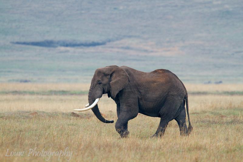 "<a target=""NEWWIN"" href=""http://en.wikipedia.org/wiki/African_Bush_Elephant"">African Bush Elephant (<i>Loxodonta africana</i>)</a>, <a target=""NEWWIN"" href=""http://en.wikipedia.org/wiki/Ngorongoro"">Ngorongoro Crater</a>, Tanzania"