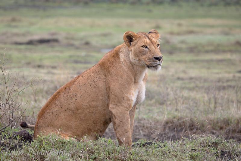"<a target=""NEWWIN"" href=""http://en.wikipedia.org/wiki/Lion"">Lioness (<i>Panthera leo</i>)</a>, <a target=""NEWWIN"" href=""http://en.wikipedia.org/wiki/Ngorongoro"">Ngorongoro Crater</a>, Tanzania"