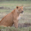 "<a target=""NEWWIN"" href=""http://en.wikipedia.org/wiki/Lion"">Lioness (<i>Panthera leo</i>)</a>, <a target=""NEWWIN"" href=""http://en.wikipedia.org/wiki/Ngorongoro"">Ngorongoro Crater</a>, Tanzania"