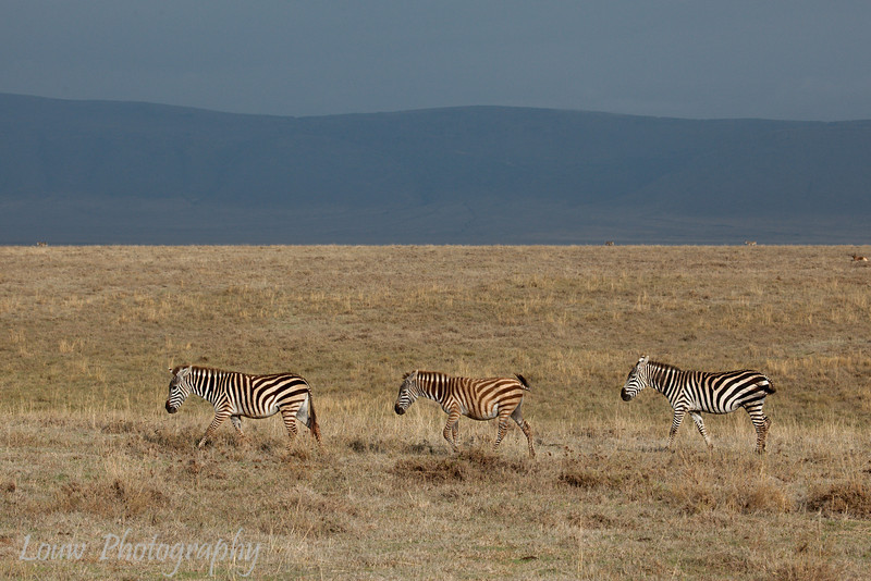"A trio of <a target=""NEWWIN"" href=""http://en.wikipedia.org/wiki/Plains_Zebra"">Common Zebras (<i>Equus quagga</i>)</a>, <a target=""NEWWIN"" href=""http://en.wikipedia.org/wiki/Ngorongoro"">Ngorongoro Crater</a>, Tanzania"