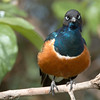 "<a target=""NEWWIN"" href=""http://en.wikipedia.org/wiki/Superb_Starling"">Superb Starling (<i>Lamprotornis superbus</i>)</a>, <a target=""NEWWIN"" href=""http://en.wikipedia.org/wiki/Ngorongoro"">Ngorongoro Crater</a>, Tanzania"