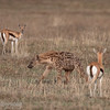 "<a target=""NEWWIN"" href=""http://en.wikipedia.org/wiki/Thomson%27s_Gazelle"">Thomsons Gazelles (<i>Eudorcas thomsoni</i>)</a> stand alert with a <a target=""NEWWIN"" href=""http://en.wikipedia.org/wiki/Spotted_Hyena"">Spotted Hyena (<i>Crocuta crocuta</i>)</a> nearby, <a target=""NEWWIN"" href=""http://en.wikipedia.org/wiki/Ngorongoro"">Ngorongoro Crater</a>, Tanzania"