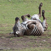 "<a target=""NEWWIN"" href=""http://en.wikipedia.org/wiki/Plains_Zebra"">Common Zebra (<i>Equus quagga</i>)</a> rolling in the dirt, <a target=""NEWWIN"" href=""http://en.wikipedia.org/wiki/Ngorongoro"">Ngorongoro Crater</a>, Tanzania"