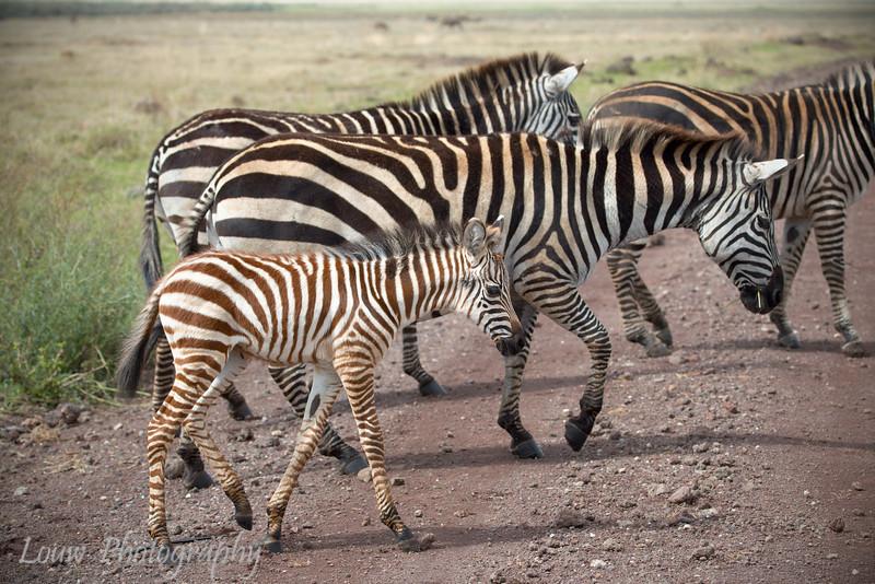 "<a target=""NEWWIN"" href=""http://en.wikipedia.org/wiki/Plains_Zebra"">Common Zebra (<i>Equus quagga</i>)</a>, <a target=""NEWWIN"" href=""http://en.wikipedia.org/wiki/Ngorongoro"">Ngorongoro Crater</a>, Tanzania"