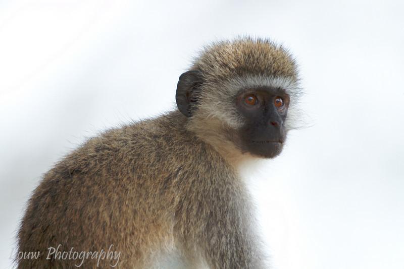 "Black-Faced Vervet Monkey (<i>Cercopithecus aethiops</i>), <a target=""NEWWIN"" href=""http://en.wikipedia.org/wiki/Ngorongoro"">Ngorongoro Crater</a>, Tanzania"