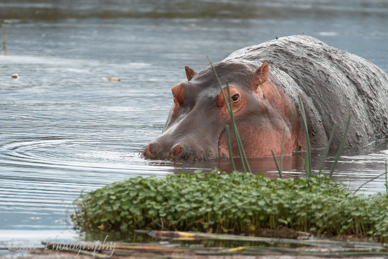 "<a target=""NEWWIN"" href=""http://en.wikipedia.org/wiki/Hippo"">Hippopotamus (<i>Hippopotamus amphibius</i>)</a>, <a target=""NEWWIN"" href=""http://en.wikipedia.org/wiki/Ngorongoro"">Ngorongoro Crater</a>, Tanzania"