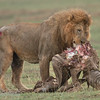 """Male <a target=""""NEWWIN"""" href=""""http://en.wikipedia.org/wiki/Lion"""">Lion (<i>Panthera leo</i>)</a> with Zebra kill, <a target=""""NEWWIN"""" href=""""http://en.wikipedia.org/wiki/Ngorongoro"""">Ngorongoro Crater</a>, Tanzania"""