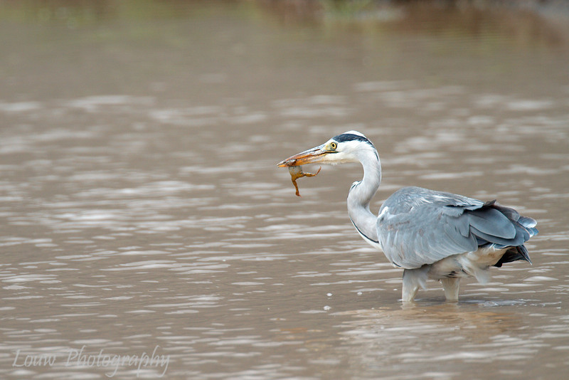 "<a target=""NEWWIN"" href=""http://en.wikipedia.org/wiki/Grey_Heron"">Grey Heron (<i>Ardea cinerea</i>)</a> eating a frog, <a target=""NEWWIN"" href=""http://en.wikipedia.org/wiki/Ngorongoro"">Ngorongoro Crater</a>, Tanzania"