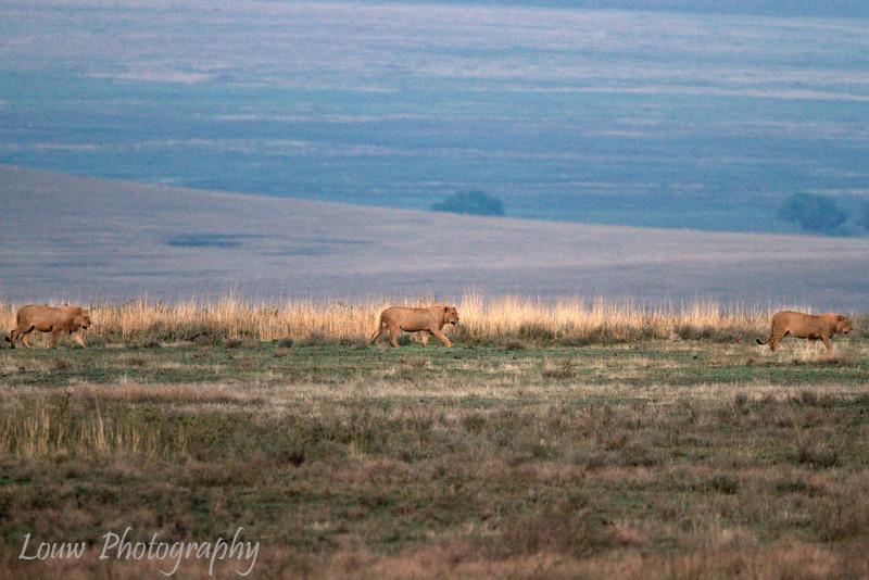 """<a target=""""NEWWIN"""" href=""""http://en.wikipedia.org/wiki/Lion"""">Lions (<i>Panthera leo</i>)</a> walking at sunrise, <a target=""""NEWWIN"""" href=""""http://en.wikipedia.org/wiki/Ngorongoro"""">Ngorongoro Crater</a>, Tanzania"""