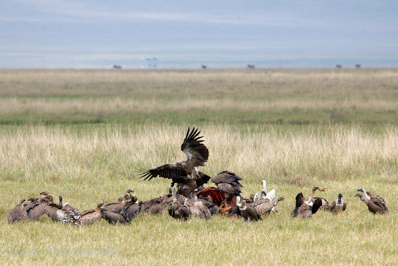 """<a target=""""NEWWIN"""" href=""""http://en.wikipedia.org/wiki/R%C3%BCppell%27s_Vulture"""">Rüppell's Vulture (<i>Gyps rueppellii</i>)</a> feasting on a  Buffalo, <a target=""""NEWWIN"""" href=""""http://en.wikipedia.org/wiki/Ngorongoro"""">Ngorongoro Crater</a>, Tanzania"""