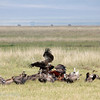 "<a target=""NEWWIN"" href=""http://en.wikipedia.org/wiki/R%C3%BCppell%27s_Vulture"">Rüppell's Vulture (<i>Gyps rueppellii</i>)</a> feasting on a  Buffalo, <a target=""NEWWIN"" href=""http://en.wikipedia.org/wiki/Ngorongoro"">Ngorongoro Crater</a>, Tanzania"