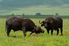 Cape buffalo, Ngorongoro Crater, Tanzania, Africa.  February 2016