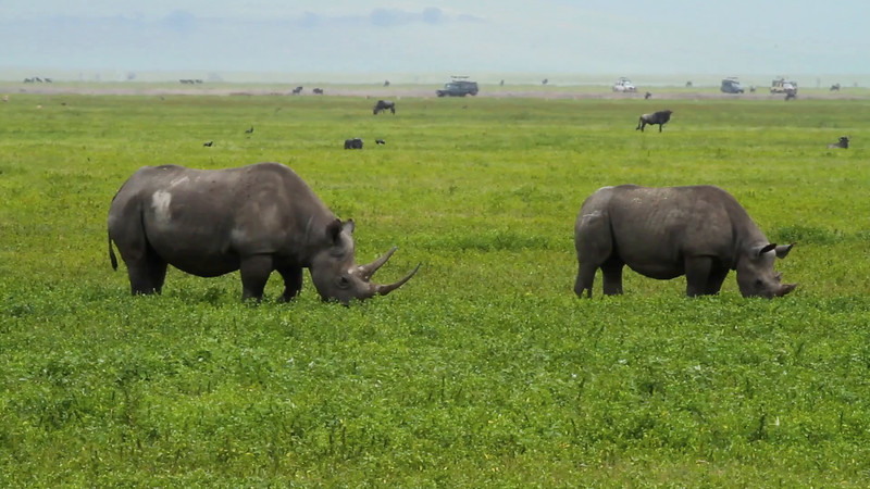 Video of black rhinoceros with calf, Ngorongoro Crater, Tanzania, Africa.  February 2016