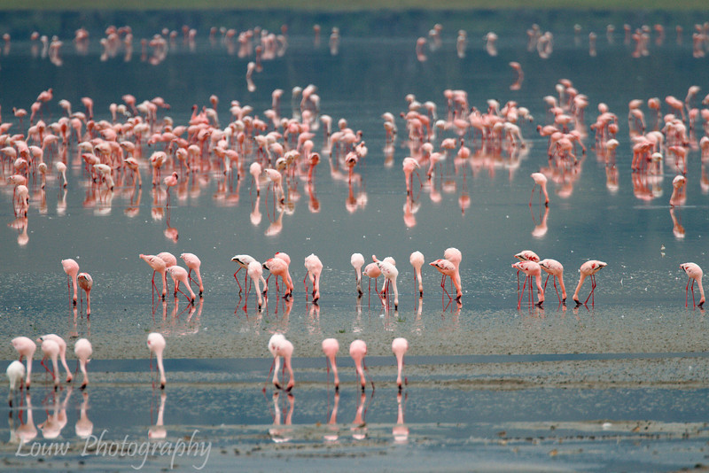 "<a target=""NEWWIN"" href=""http://en.wikipedia.org/wiki/Lesser_Flamingo"">Lesser Flamingos (<i>Phoenicopterus minor</i>)</a>, <a target=""NEWWIN"" href=""http://en.wikipedia.org/wiki/Ngorongoro"">Ngorongoro Crater</a>, Tanzania"