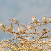 "<a target=""NEWWIN"" href=""http://en.wikipedia.org/wiki/Red-billed_Quelea"">Red-billed Quelea (<i>Quelea quelea</i>)</a>, <a target=""NEWWIN"" href=""http://en.wikipedia.org/wiki/Ngorongoro"">Ngorongoro Crater</a>, Tanzania"