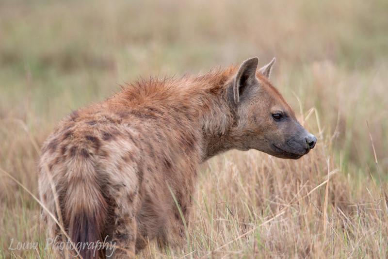 """<a target=""""NEWWIN"""" href=""""http://en.wikipedia.org/wiki/Spotted_Hyena"""">Spotted Hyena (<i>Crocuta crocuta</i>)</a>, <a target=""""NEWWIN"""" href=""""http://en.wikipedia.org/wiki/Ngorongoro"""">Ngorongoro Crater</a>, Tanzania"""
