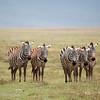 "A quintet of <a target=""NEWWIN"" href=""http://en.wikipedia.org/wiki/Plains_Zebra"">Common Zebras (<i>Equus quagga</i>)</a>, <a target=""NEWWIN"" href=""http://en.wikipedia.org/wiki/Ngorongoro"">Ngorongoro Crater</a>, Tanzania"