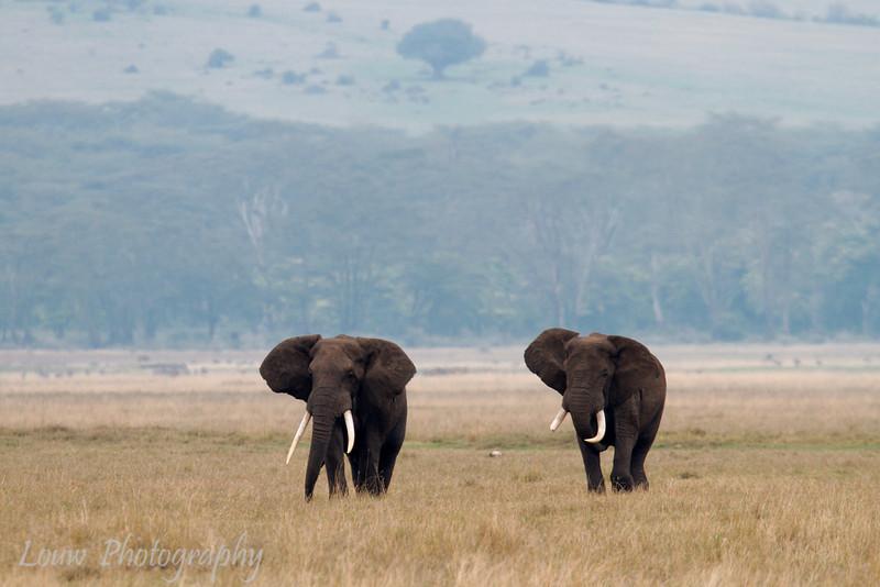 "<a target=""NEWWIN"" href=""http://en.wikipedia.org/wiki/African_Bush_Elephant"">African Bush Elephants (<i>Loxodonta africana</i>)</a>, <a target=""NEWWIN"" href=""http://en.wikipedia.org/wiki/Ngorongoro"">Ngorongoro Crater</a>, Tanzania"