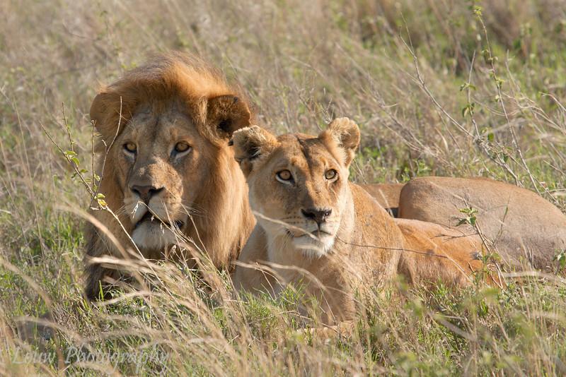 "Male and Female <a target=""NEWWIN"" href=""http://en.wikipedia.org/wiki/Lion"">Lion (<i>Panthera leo</i>)</a>, <a target=""NEWWIN"" href=""http://en.wikipedia.org/wiki/Serengeti"">Serengeti</a>, Tanzania"
