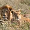 "Male and Female <a target=""NEWWIN"" href=""http://en.wikipedia.org/wiki/Lion"">Lion (<i>Panthera leo</i>)</a>, <a target=""NEWWIN"" href=""http://en.wikipedia.org/wiki/Serengeti"">Serengeti</a>, Tanzania"