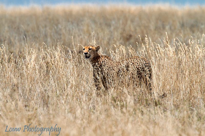"<a target=""NEWWIN"" href=""http://en.wikipedia.org/wiki/Cheetah"">Cheetah (<i>Acinonyx jubatus</i>)</a>, <a target=""NEWWIN"" href=""http://en.wikipedia.org/wiki/Serengeti"">Serengeti</a>, Tanzania"