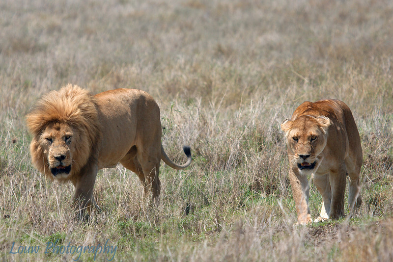 """Male and Female <a target=""""NEWWIN"""" href=""""http://en.wikipedia.org/wiki/Lion"""">Lions (<i>Panthera leo</i>)</a> play fighting, <a target=""""NEWWIN"""" href=""""http://en.wikipedia.org/wiki/Serengeti"""">Serengeti</a>, Tanzania"""