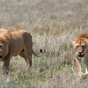 "Male and Female <a target=""NEWWIN"" href=""http://en.wikipedia.org/wiki/Lion"">Lions (<i>Panthera leo</i>)</a> play fighting, <a target=""NEWWIN"" href=""http://en.wikipedia.org/wiki/Serengeti"">Serengeti</a>, Tanzania"