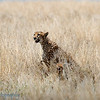 "Female <a target=""NEWWIN"" href=""http://en.wikipedia.org/wiki/Cheetah"">Cheetah (<i>Acinonyx jubatus</i>)</a> with cubs, <a target=""NEWWIN"" href=""http://en.wikipedia.org/wiki/Serengeti"">Serengeti</a>, Tanzania"