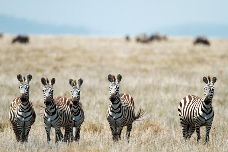"<a target=""NEWWIN"" href=""http://en.wikipedia.org/wiki/Plains_Zebra"">Common Zebras (<i>Equus quagga</i>)</a>, <a target=""NEWWIN"" href=""http://en.wikipedia.org/wiki/Serengeti"">Serengeti</a>, Tanzania"