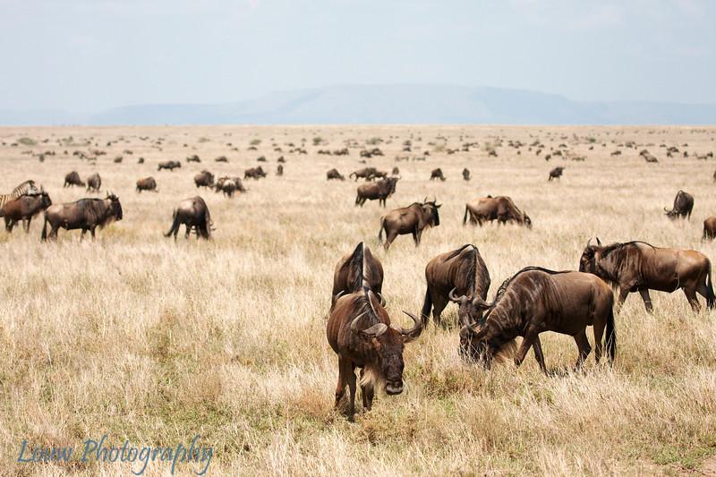 """<a target=""""NEWWIN"""" href=""""http://en.wikipedia.org/wiki/Blue_Wildebeest"""">Blue Wildebeests (<i>Connochaetes taurinus</i>)</a>, <a target=""""NEWWIN"""" href=""""http://en.wikipedia.org/wiki/Serengeti"""">Serengeti</a>, Tanzania"""